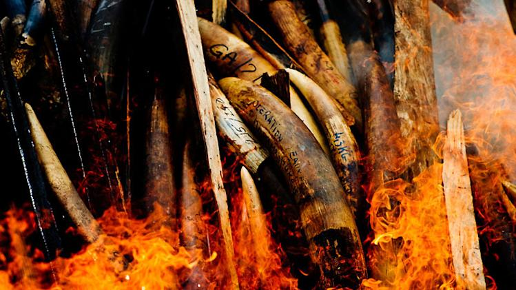 Illegally poached Elephant tusks and iveory go up in flames. Gabon's stockpile of ivory seized from elephant poachers and illegal ivory dealers is burned in the nation's capital, Libreville, , Gabon, 27.06.2012.