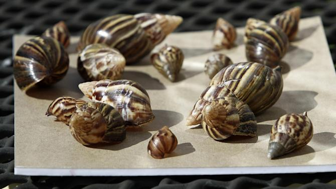 a collection of giant African land snails