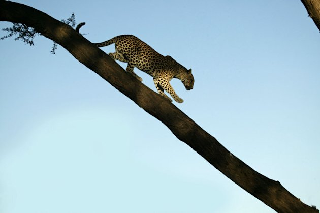 Unlikely Leopard