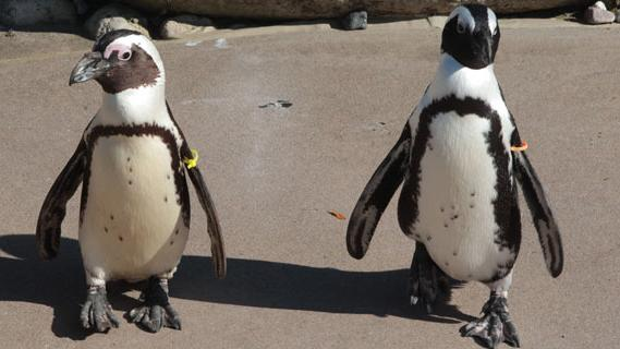 Toronto Zoo's 'Gay' Penguins Attracted to New Female Partners