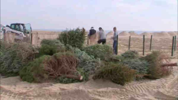 Boardwalk left unscathed by Sandy thanks to Christmas trees