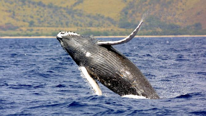 FILE - A humpback whale jumps out of the waters off Hawaii in this undated photo. Hundreds of Hawaii fishermen are asking the federal government to take North Pacific humpback whales off the endangered species list in recognition of the rebound the population has experienced since the international community banned commercial whaling decades ago.(AP Photo/NOAA Fisheries)
