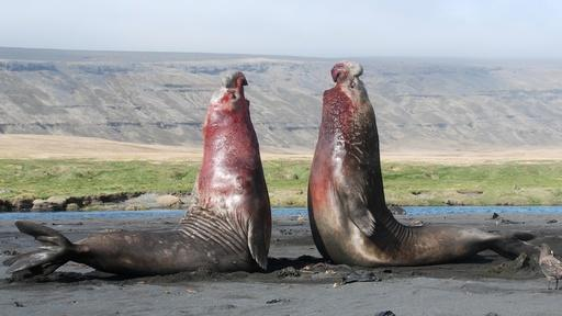 How Elephant Seals Know Who's Boss