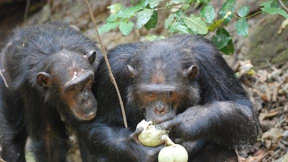 Chimp and Human Gut Bacteria Nearly Identical