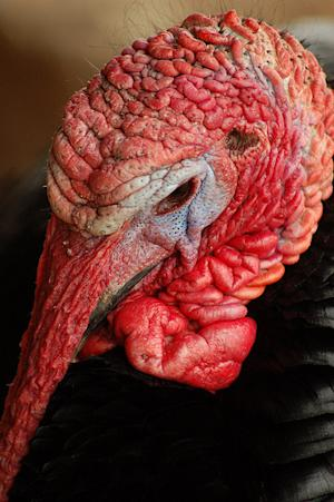 10 Ugly Turkeys to Relieve Your Thanksgiving Guilt