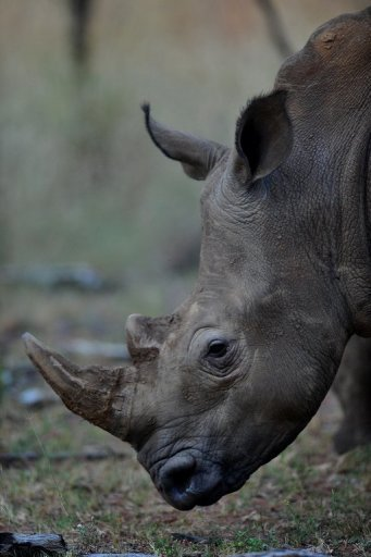 The biggest market for rhino horns is currently Vietnam, watchdogs say
