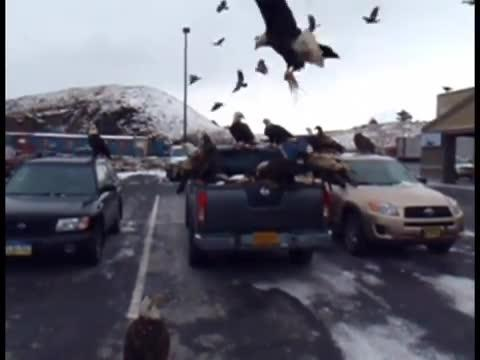 Bald Eagles Have a Parking Lot Party!