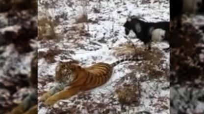 Tiger Becomes Best Friends With Goat It Was Supposed to Eat
