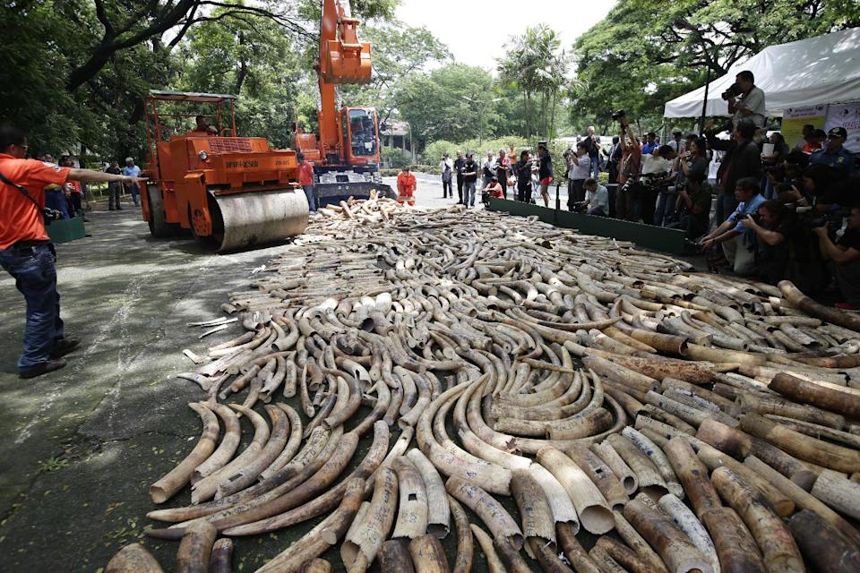 FILE - This June 21, 2103 file photo shows a steamroller and a backhoe used to crush seized elephant tusks during a destruction ceremony at the...