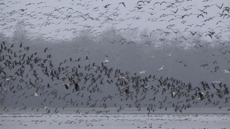 Wild geese fly over lake Oreg in Tata