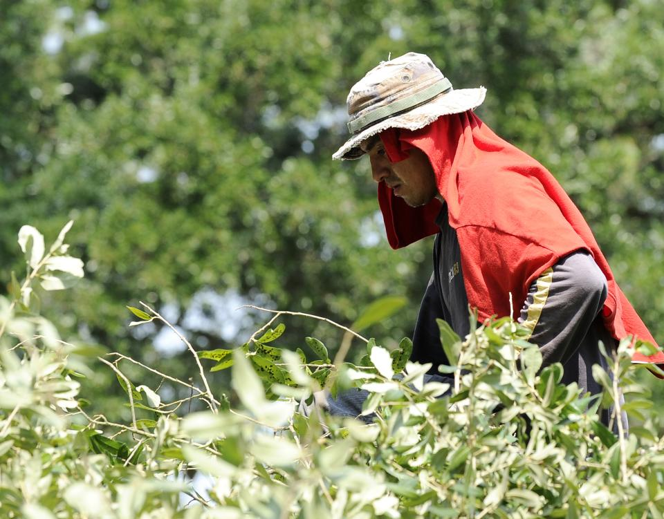 Manuel Benitez sweats in the heat as works on loading trimmed tree branches Wednesday, June 27, 2012, in Houston. (AP Photo/Pat Sullivan)