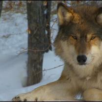 Wolf Hunting Banned in Minnesota