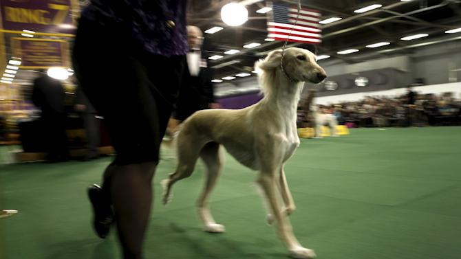 2016 westminster kennel club dog show in the manhattan borough of new