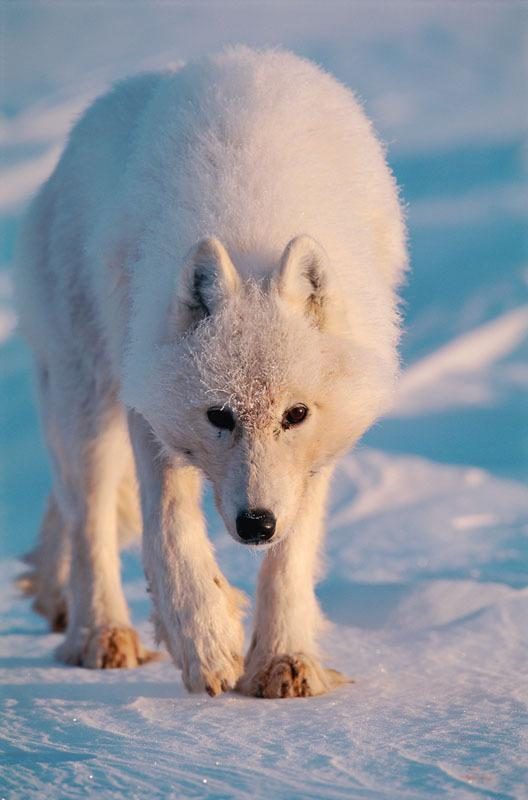 The arctic fox eats lemmings, arctic hares and some birds and bird eggs. But its main source of food is the lemming and its population size fluctuates with the cycle of the lemming population. © Staffan Widstrand / WWF