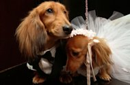 Dachshunds dressed for the occasion, Clifford, left, and his cousin Dee Dee, share a moment as they wait to take part in the most expensive wedding for pets Thursday July 12, 2012 in New York. The black-tie fundraiser, where two dogs were &quot;married&quot;, was held to benefit the Humane Society of New York. (AP Photo/Tina Fineberg)