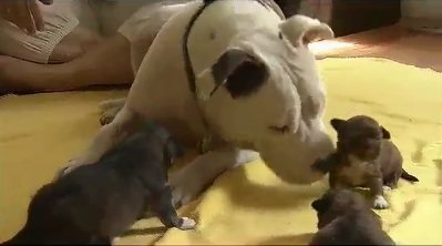 Rescued Pit Bull Adopts Rescued Puppies