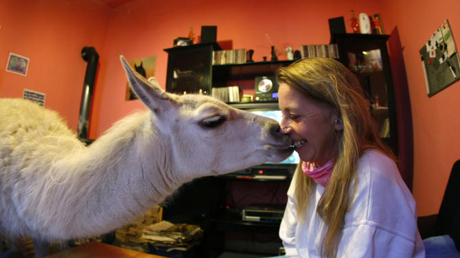 A three-year old llama 'Socke' kisses its owner Doepper in her living room in Muelheim