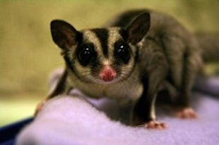5 reasons you don't want a pet sugar glider