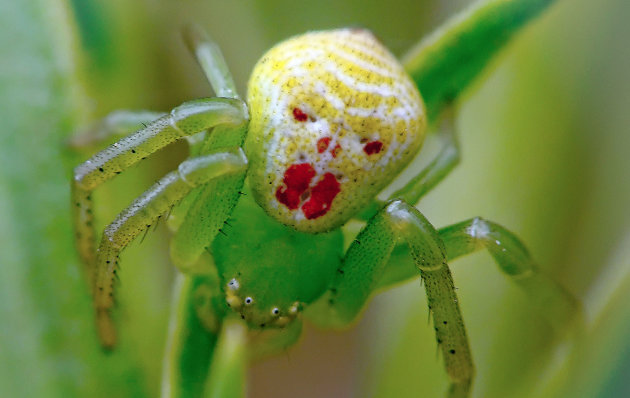 The spider with a clown face, from the thomisidae familu, was shot by Igor Ryabov (Caters)
