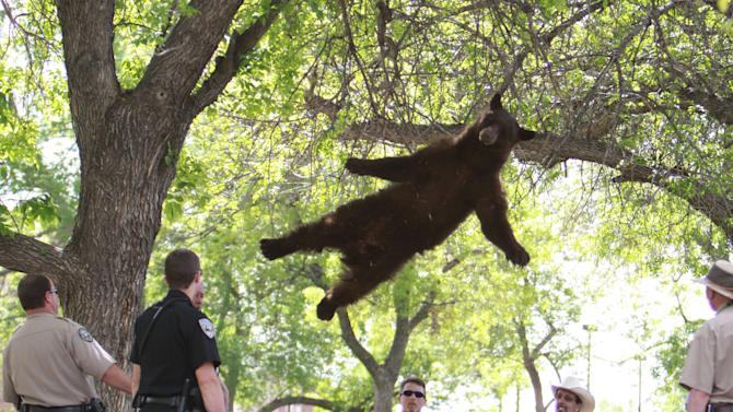 FILE - This Thursday, April 26, 2012 file shows a bear that wandered into the University of Colorado Boulder, Colo., dorm complex Williams Village falling from a tree after being tranquilized by Colorado wildlife officials. (AP Photo/Andy Duann)  MANDATORY CREDIT