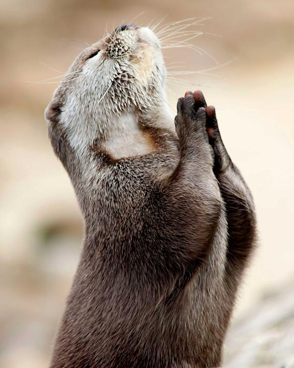 This incredible photo shows an otter seeking guidance by praying. This rare snap was taken by Hertfordshire based photographer Marac Andrev Kolodzinski. Marac had to wait over two hours in the freezin