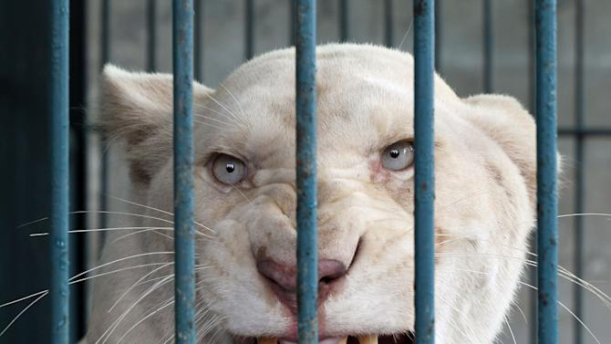 Thai pet shop owner with 14 rare lions arrested