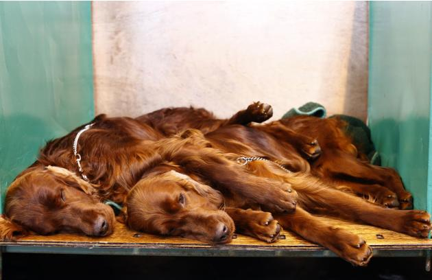 Irish Setters rest during the final day of the Crufts dog show in Birmingham