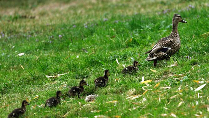 A duck walks out of a pound followed by five ducklings at the 18th Evian Masters golf tournament in Evian July 28, 2012. REUTERS/Denis Balibouse