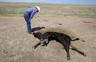 A rancher inspects a dead cow on dry grasslands on August 22, 2012 near Eads, Colorado. A government report warned the United States could face more frequent severe weather including heat waves and storms for decades to come as temperatures rise far beyond levels being planned for
