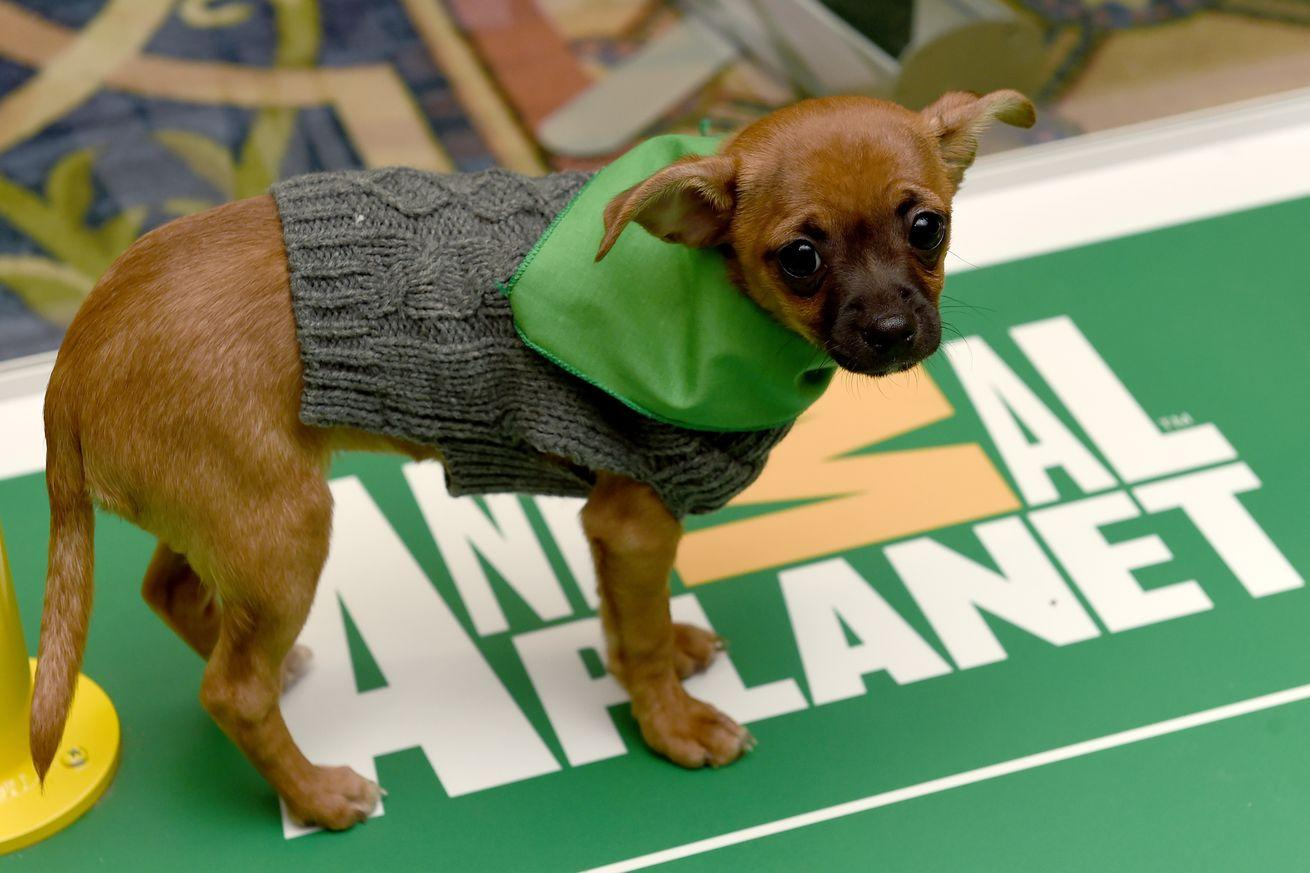 Puppy Bowl 2016 results: Star leads Team Ruff to victory over Team Fluff