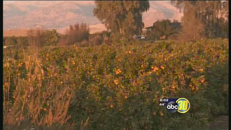 Central Valley farmers see minimal damage to citrus crops