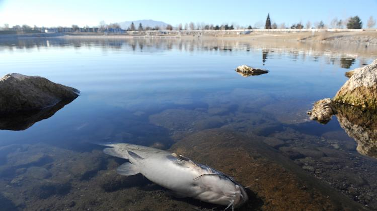 In this Wednesday, Jan. 14, 2014 photo, a dead cat fish lies on the east shore of the Sparks Marina in Sparks, Nev. As many as 100, 000 trout, catfish, and bass have died due to low oxygen levels in the lake, according to the Nevada Department of Wildlife. (AP Photo/The Reno Gazette-Journal, Andy Barron) NO SALES; NEVADA APPEAL OUT; SOUTH RENO WEEKLY OUT