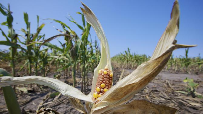 FILE - This Aug. 16, 2012 file photo shows a damaged ear of corn near Nickerson, Neb. Farmers will be paid a record $16 billion in crop insurance claims for 2012 because of the widespread drought, a staggering amount that has critics calling for changes to what they say is an inefficient taxpayer subsidy the government cannot afford. (AP Photo/Nati Harnik, File)