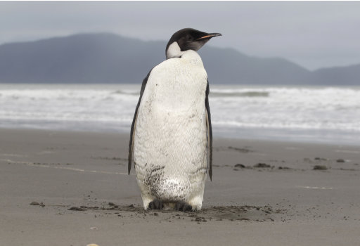 In this photo taken Tuesday June  21, 2011, an Emperor penguin is seen on Peka Peka Beach of the Kapiti Coast in New Zealand. Emperor penguins typically spend their entire lives in Antarctica and almost never make landfall near humans, with the last sighting in New Zealand being more than 44 years ago. (AP Photo/New Zealand Herald, Mark Mitchell) NEW ZEALAND OUT, AUSTRALIA OUT