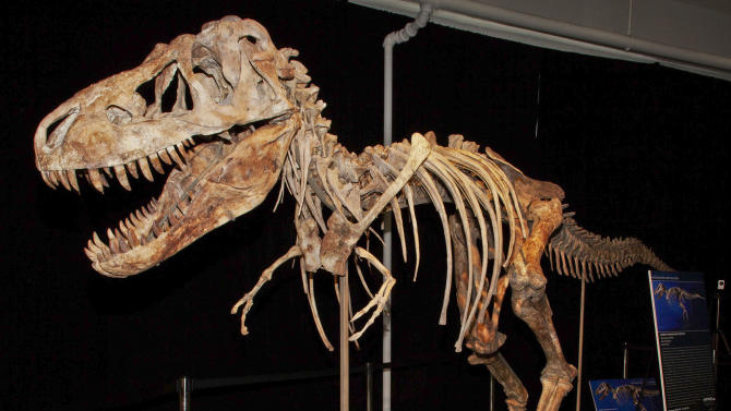 FILE - This photo released by the U.S. Attorney's office shows the fossil of a Tyrannosaurus bataar dinosaur at the center of a lawsuit demanding its return to Mongolia. Florida resident Eric Prokopi has pleaded guilty, Thursday, Dec. 27, 2012, at Federal Court in New York to smuggling this fossil and others into the United States. In return for his cooperation, prosecutors say they will recommend leniency. (AP Photo/U.S Attorney Office for the Southern District of New York, File)
