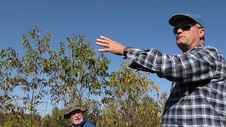 """In this Friday, Oct. 19, 2012 photo, tree geneticist Paul Sisco leads members of The American Chestnut Foundation on a hybrid orchard tour outside Asheville, N.C. All claims of a naturally resistant American are """"baloney,"""" said Sisco, a retired American Chestnut Foundation staff geneticist. (AP Photo/Allen Breed)"""