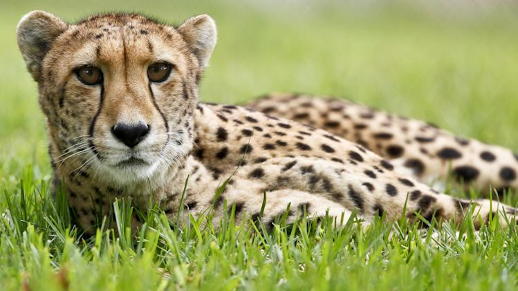 In this Nov. 29, 2012 photo, Nairobi, a 9-year-old female cheetah, keeps an eye on activity in an adjacent enclosure at the cheetah breeding facility at Safari Park in Escondido, Calif.  Cheetahs might be the fastest mammals in the world, but they are also the world's biggest scaredy-cats. The tightly wound, timid, flight-minded, anti-social creatures don't breed easily and are in danger of going extinct in the wild and in captivity. (AP Photo/Lenny Ignelzi)