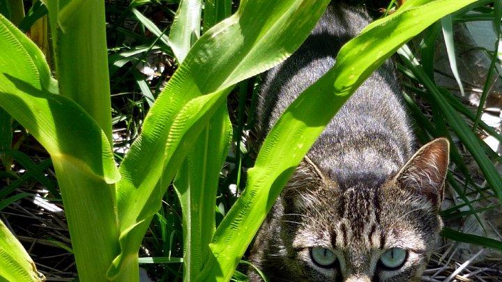 Cat in a Corn Field