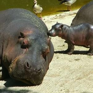 Raw: Baby Hippo Debuts at Mexico City Zoo