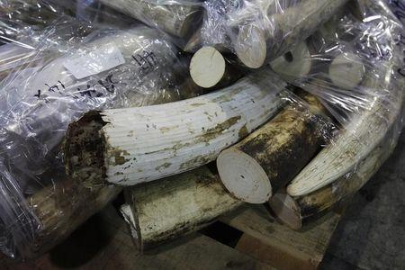 More than 500 pieces of ivory tusks are displayed after being seized in Hong Kong