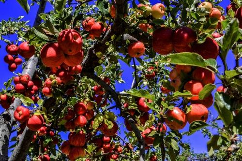 Mapping Georgia's Apple Orchards in Time for Fall Splendor