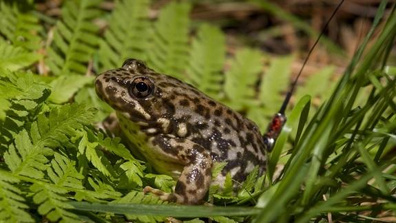 Devastating Frog Fungus Triggers Cell Suicides