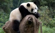 Pandas 'Hunted And Eaten By Prehistoric Man'