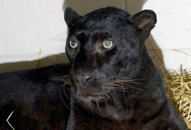 This is a handout photo from the Columbus Zoo and Aquarium of a black leopard,  one of three leopards that were captured by authorities Wednesday, a day after their owner released dozens of wild anima