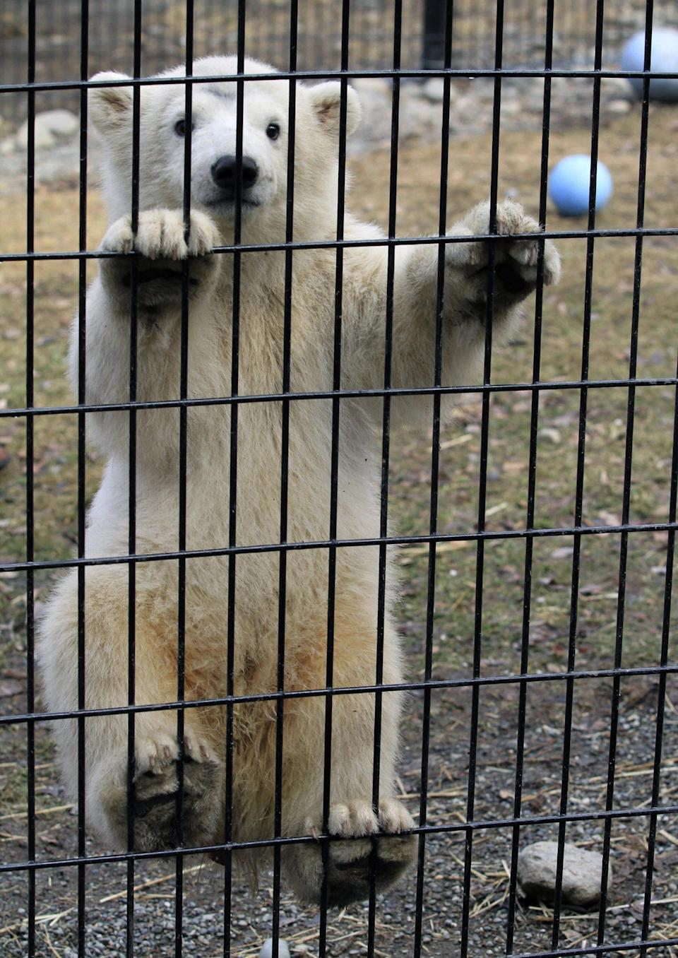 Kali, a polar bear cub orphaned when its mother was killed by a hunter in northwest Alaska, climbs the screen of his cage on Monday, May 13, 2013, at the Alaska Zoo in Anchorage, Alaska. UPS will fly the cub Tuesday to its new temporary home at the Buffalo Zoo. (AP Photo/Dan Joling)