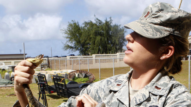 In this photo taken on Feb. 5, 2013, a U.S. military service member holds a Brown Tree Snake kept in captivity on Andersen Air Force Base on the island of Guam. The U.S. government is planning to drop toxic mice from helicopters to battle the snakes, an invasive species that has decimated Guam's native bird population and could cause billions of dollars of damage if allowed to spread to Hawaii. (AP Photo/Eric Talmadge)