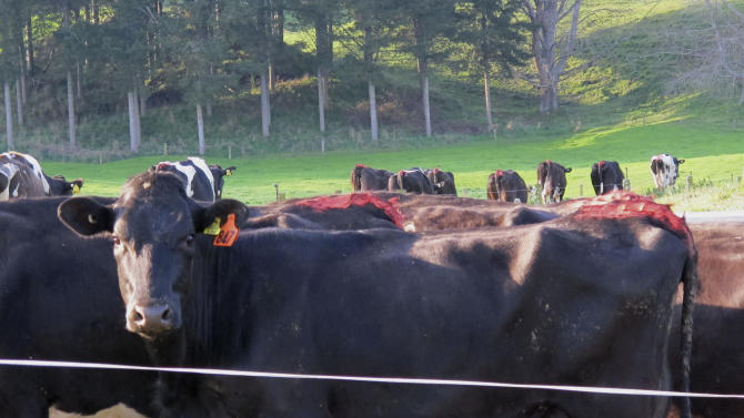 In this Sept. 24, 2012 photo, dairy cattle return to pasture after being milked on a farm near Reporoa, south of Auckland, New Zealand. Earlier in the year, Chinese investor Jiang Zhaobai's company, Shanghai Pengzin, bought 13 dairy and three cattle and sheep farms in the Waikato region in a sale that was the subject of national debate and legal actions. (AP Photo/Nick Perry)
