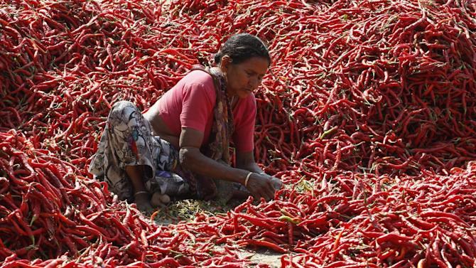 A woman removes stalks from chilli peppers at a farm on the outskirts of Ahmedabad