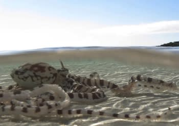 Mimic Octopus Makes Home on Great Barrier Reef
