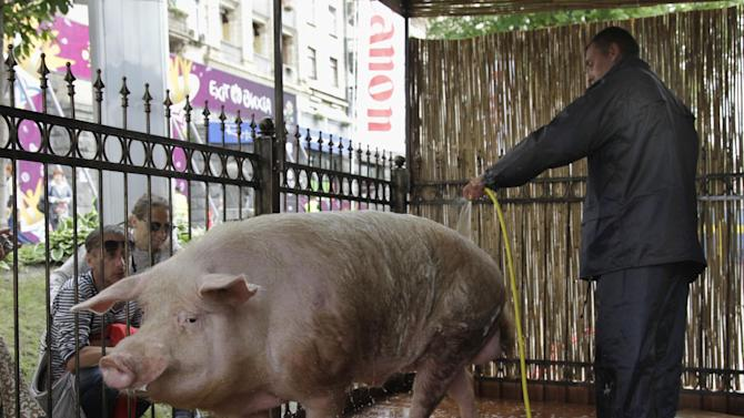 """A man hoses a pig  which makes """"predictions"""" for the Euro 2012 soccer championship in the Fan Zone , in Kiev, Ukraine, Thursday, June 7, 2012. The  pig will be making its first prediction on   June 8, 2012.  (AP Photo/Efrem Lukatsky)"""